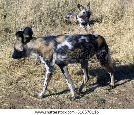 Wild dogs in Namibia