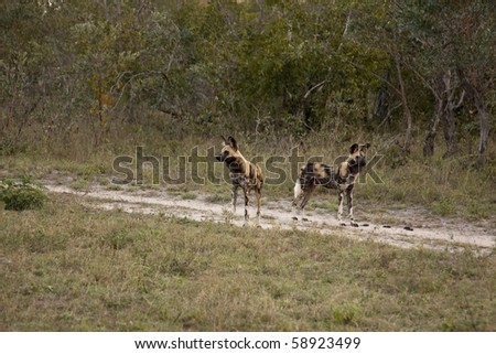 Wild dogs in Sabi Sands Game Reserve, South Africa