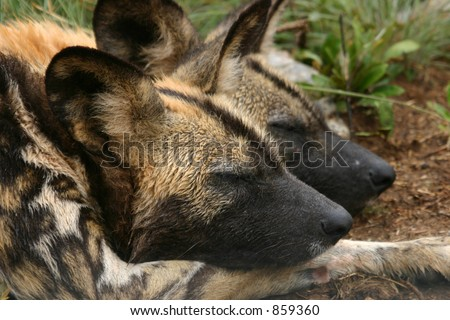 Wild dogs lying together