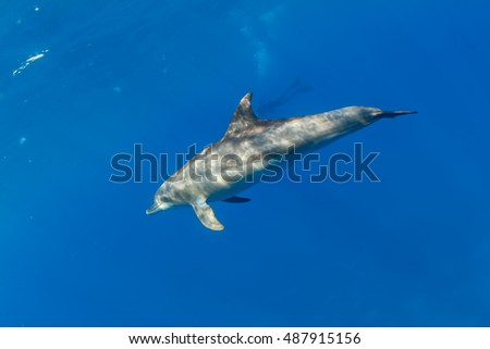 Wild dolphin alone smiling with beak underwater on ocean blue background with scubadiver