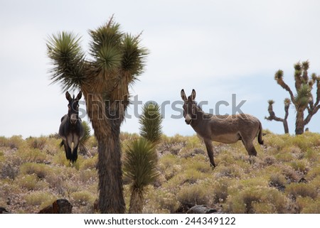 Wild Donkey in Death Valley - stock photo