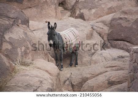 Wild Donkeys in the stone desert.  - stock photo