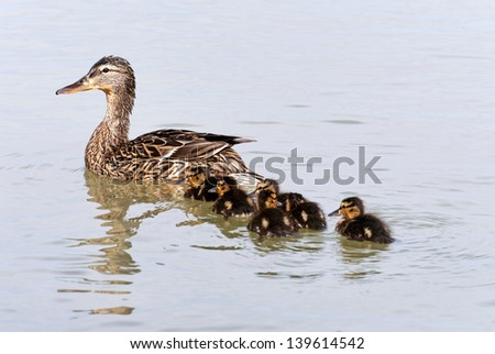 Wild duck and her ducklings  - stock photo