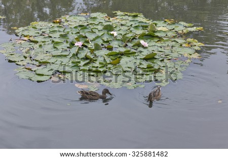 wild duck floating in the pond with water lily closeup - stock photo