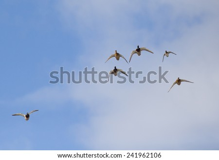 Wild duck flying in blue sky with some light clouds in background