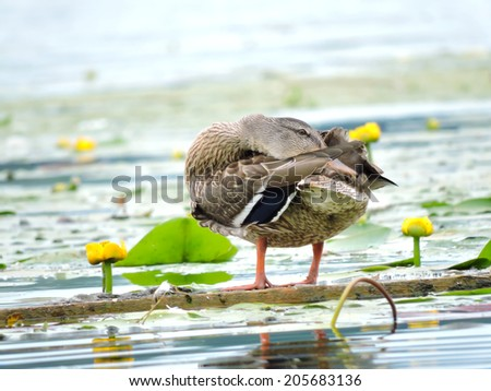 Wild duck sitting on a floating branch on water - stock photo