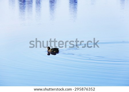 Wild duck swimming in the river - stock photo
