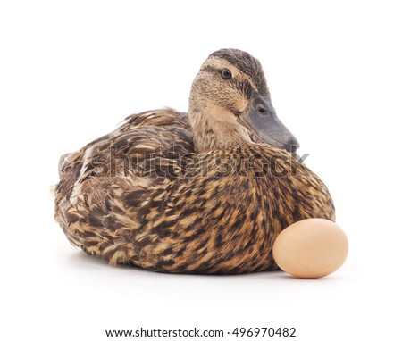 Wild duck with egg on a white background.
