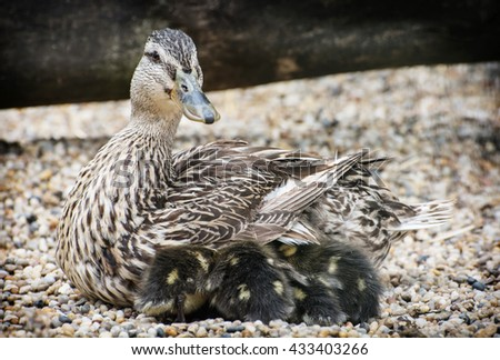 Wild duck with youngs. Animal scene. Spring natural theme. Detail photo. Beauty in nature. Ducklings with mother. - stock photo