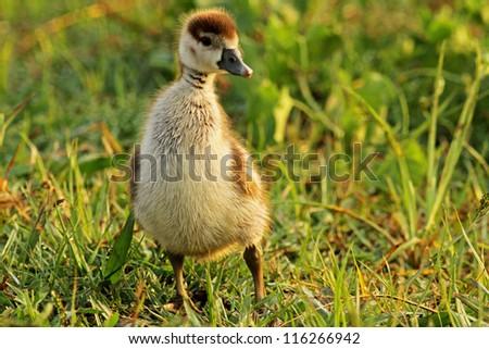wild duckling - stock photo
