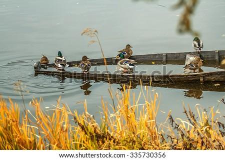 Wild ducks - stock photo