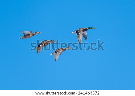Wild ducks(Anas platyrhynchos) flying - stock photo