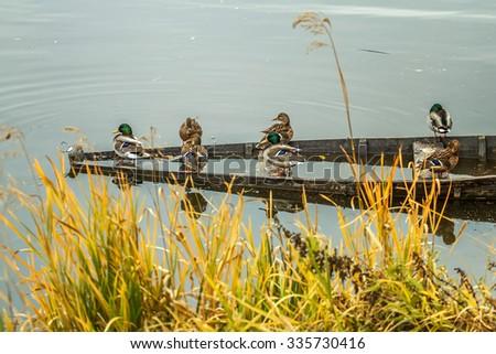 Wild ducks in riwer - stock photo