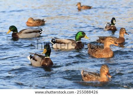 wild ducks in the lake - stock photo