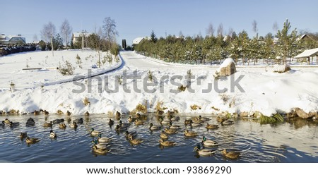 Wild Ducks on frozen  snow winter lake landscape. Sunny day, selective focus - stock photo