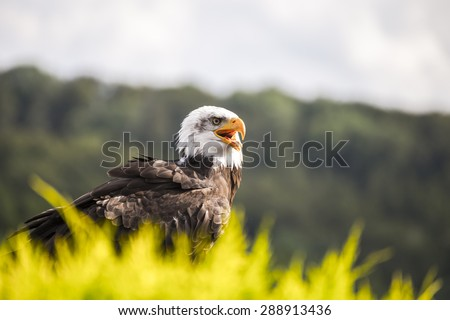 Wild eagle waiting for prey - stock photo