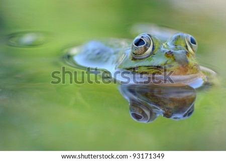 Wild edible frog (Rana esculenta) in the water, with reflection. Piedmont, Italy, - stock photo