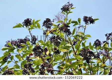 Wild elderberry  - stock photo