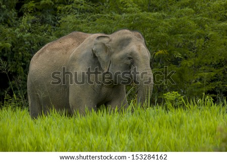 Wild elephant eating grass in the green field, national park, thailand - stock photo