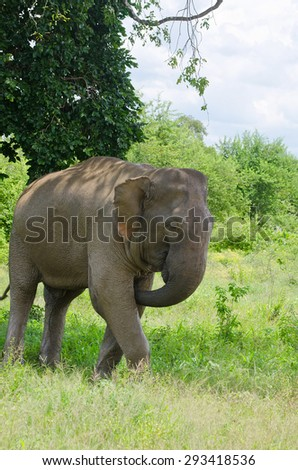 Wild Elephant In Udawalawe National Park. Udawalawe National Park Is An Important Habitat For Water Birds And Sri Lankan Elephants And The Third Most Visited Park In Sri Lanka - stock photo