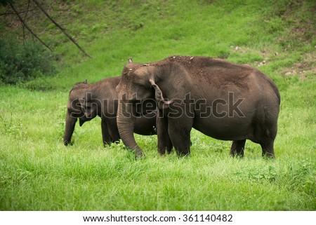 Wild elephants eating grass on the valley  Kerala, India. - stock photo