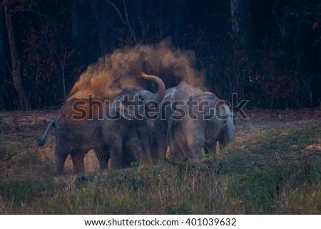 Wild elephants (Elephas maximus) eating salt lick  and spray the duck in the air in real nature in the evening at Khaoyai national park, Thailand - stock photo