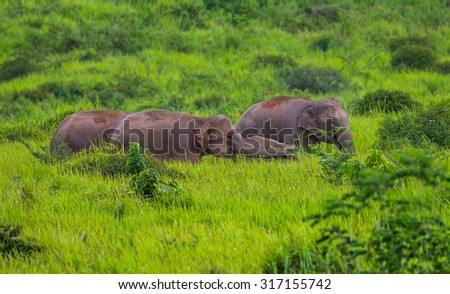 Wild elephants family walking in blady grass filed  in real nature at Khao Yai national park,Thailand - stock photo