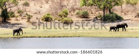 Wild Elephants in Chobe River, Chobe National Park, Botswana, Africa - stock photo