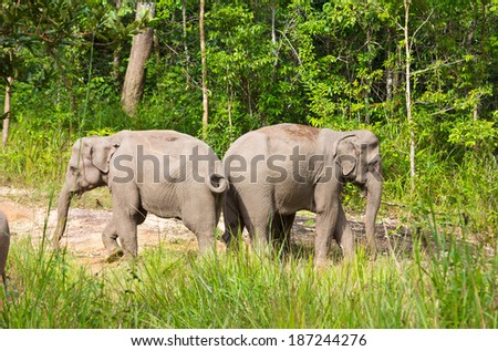 Wild elephants in Thailand Khao Yai National Park.