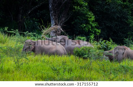 Wild elephants walking in blady grass filed with forest background in real nature at Khao Yai national park,Thailand - stock photo