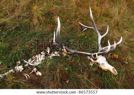 Wild elk which died of natural causes. - stock photo
