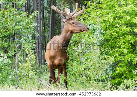 Wild Elk with velvet antlers in the summertime, Jasper National Park alberta Canada