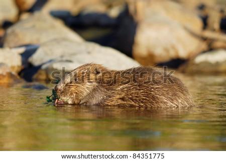 Wild European Beaver feeding in a Swedish Lake - stock photo
