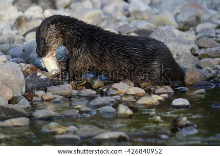 Wild European Otter (Lutra lutra) by the riverside eating a Salmon. Taken in Scotland, UK.