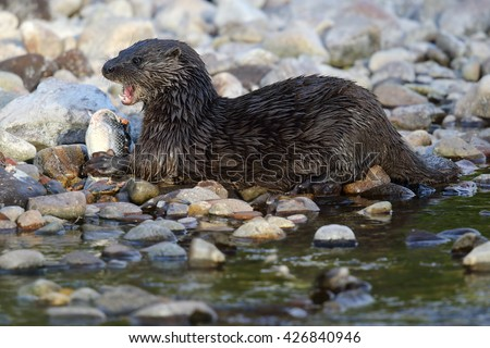 Wild European Otter portrait (Lutra lutra) by the riverside eating a Salmon. Taken in Scotland, UK.