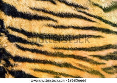 wild feline  textured fur, tiger dark natural stripes on real pelt - stock photo