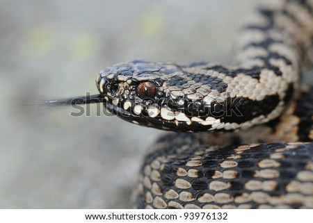 Wild female adder portrait with forked tongue. Vipera berus. Lombardy Alps, Italy - stock photo