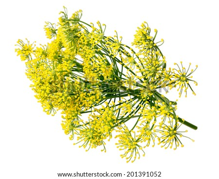 Wild fennel flowers isolated on white background - stock photo