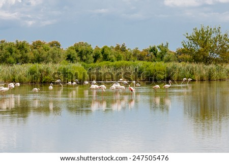 wild flamingo birds in the lake in France, Camargue, Provence. - stock photo