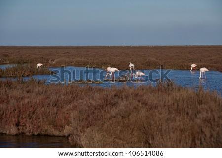 Wild flamingos in the swamps - stock photo