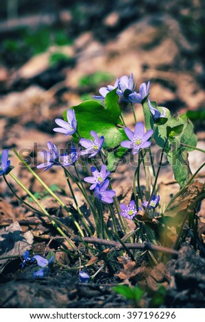 Wild flower Anemone hepatica in spring forest.  Liverwort, kidneywort, pennywort
