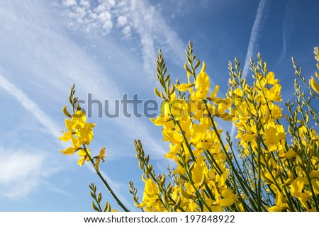 Wild Flower in France: Genet a balais, Cytisus scoparius, Broom - stock photo