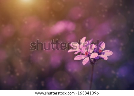 Wild flower in sunset on the field - stock photo