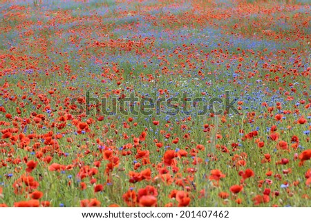 Wild flower meadow with poppies and Cornflowers with selective focus on cornflowers - stock photo