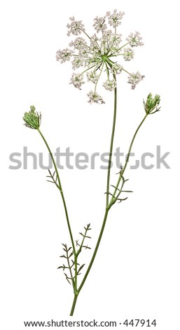 Wild flower plant, Queen Ann's Laces - stock photo