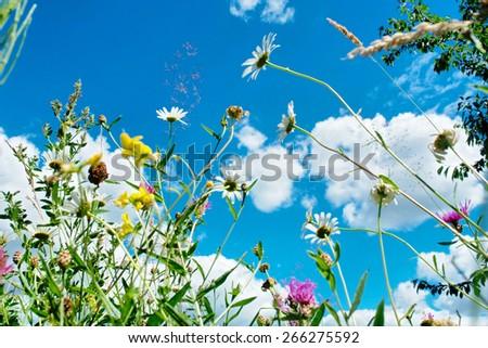 Wild flowers against blue sky - stock photo