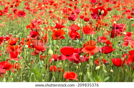 wild flowers and poppies in a field - stock photo
