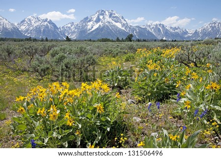 Wild flowers blooming with Grand Tetons in the background, Wyoming, USA