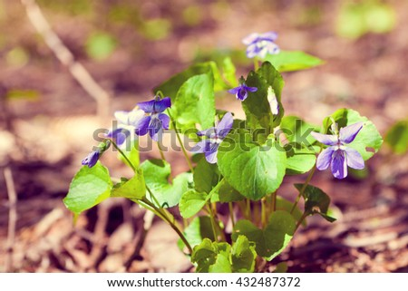 wild flowers: fragile violets on a sunny day - stock photo