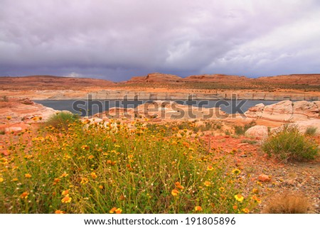 Wild flowers in Lake Powell recreation area - stock photo